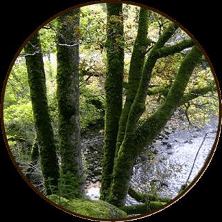 Кавказский дуб скальных пород